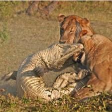 lion-croc